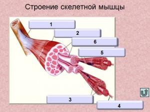 Презентация на тему мышцы человек