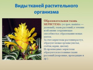 Презентация ткани растений